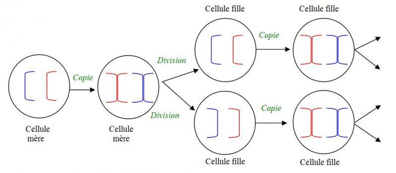 Division cellulaire schema