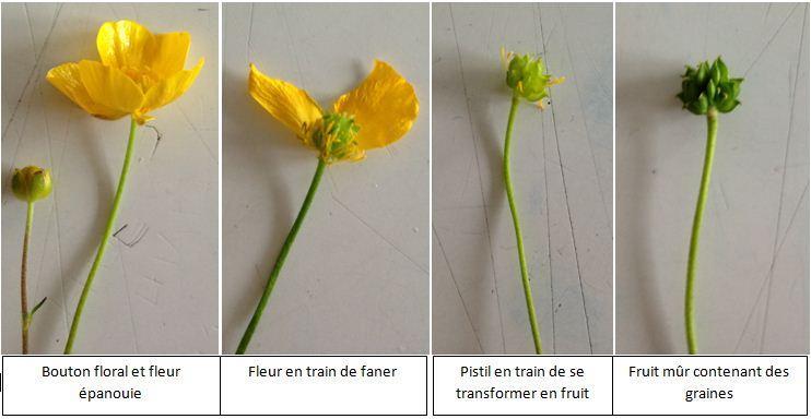 Evolution fleur legendes 1