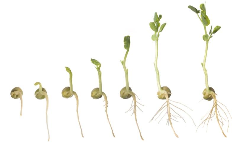 croissance lentille