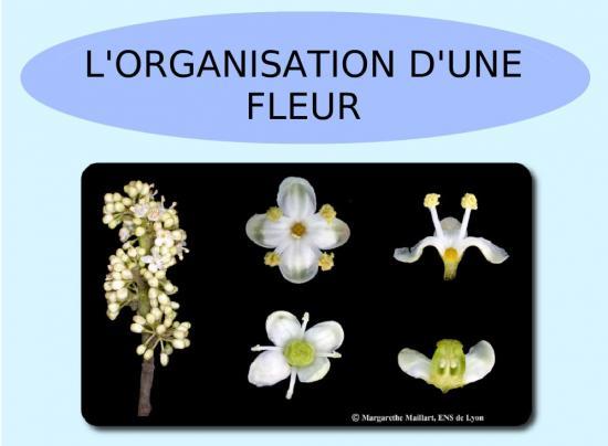 Organisation fleur