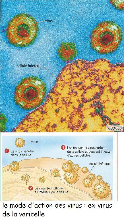 Varicelle virus